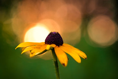 Black-Eyed Susan (Nicholas Erwin) Tags: blackeyedsusan flower plant nature bokeh depthoffield dof summer sunset evening dusk fleur flora macro closeup fujifilmmacro fujifilmxt2 fujixt2 fujifilm fuji xt2 xf60mmf24rmacro fujixf6024 6024 xf60 waterbury vermont vt unitedstatesofamerica usa america wildflower wild wildlife