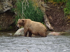 DSC07514 (jrucker94) Tags: alaska katmai katmainationalpark nationalpark bear bears grizzly grizzlybear brooksriver nature outdoors