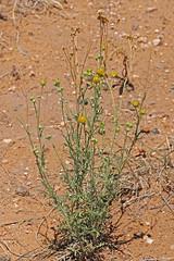CAE016424a (jerryoldenettel) Tags: 180717 2018 asteraceae asterales asterids belen fineleafwoollywhite hymenopappus hymenopappusfilifolius nm valenciaco wildflower woollywhite flower