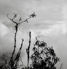 Along the Inca Trail, Peru (austin granger) Tags: peru inca incatrail jungle fog branches mountains square film gf670
