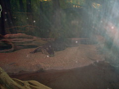 American alligator (Alligator mississippiensis) (Adventurer Dustin Holmes) Tags: indoor basspro wondersofwildlife museum springfieldmo springfield greenecounty missouri ozarks midwest exhibit interior inside enclosure lowlight alligator americanalligator animal animalia chordata reptile reptilia crocodilia alligatoridae amississippiensis alligatormississippiensis gator commonalligator flash glare glass