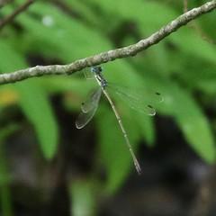 Slender Spreadwing (tombenson76) Tags: fairchildgarden slenderspreadwing lestesrectangularis