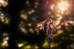 Praise for the Morning (Goromo) Tags: hosta woods trees bokeh earlymorninglight morning firstlight backlit glow lookingup forest