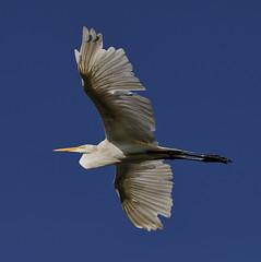 06-28-18-0024862 (Lake Worth) Tags: animal animals bird birds birdwatcher everglades southflorida feathers florida nature outdoor outdoors waterbirds wetlands wildlife wings