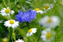 Bleuet (jpto_55) Tags: fleur bleuet proxi xe1 fuji fujifilm omlens om50mmf2macro hautegaronne france