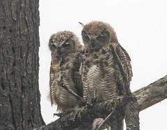 Something Caught the Eyes (Atascaderocoachsam) Tags: bubovirginianus greathornedowl