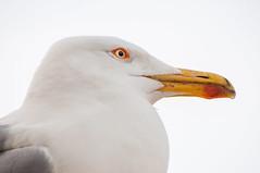 Gabbiano (LauLópez) Tags: gull seagull gaviota gabbiano animal animals animales nature naturaleza ojo eye white sea italy rome italia roma aves ave larus