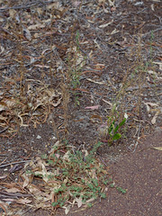 Misopates orontium and Chamaesyce maculata, Bull Creek, Perth, WA, 17/02/18 (Russell Cumming) Tags: plant weed misopates misopatesorontium plantaginaceae chamaesyce chamaesycemaculata euphorbiaceae bullcreek perth westernaustralia