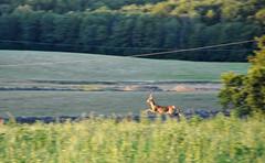 Deer, oh dear! (DameBoudicca) Tags: sweden sverige schweden suecia suède svezia スウェーデン skåne österlen deer rådjur roedeer corzo capriolo chevreuil capreoluscapreolus reh 麕 のろ ノロジカ 麕鹿