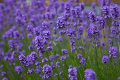 Summer Lavender @ Shoreham (Adam Swaine) Tags: lavender flora flowers naturelovers nature canon england english englishvillages shoreham kent purplegreen petals seasons summer uk beautiful britain british macro