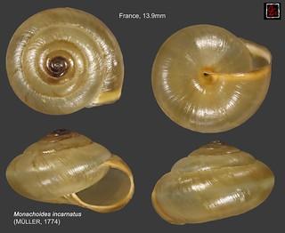 monachoides incarnatus france 13mm9
