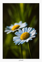 Petit matin (artsphotography.fr) Tags: petal lily blooming flower head floral daisy pollen white yellow botanical