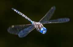 in flight (Ripley's fish planet) Tags: dragonfly insects darnerdragonfly insectphotography nikond500 sigma150600