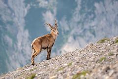 Steinbock im Karwendel (F!o) Tags: steinbock capricorn karwendel sonnjoch gramaialm gramaihochleger wildlife tiere animals mountains alpen alps berge bayern tirol