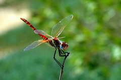 At The Top (Khaled M. K. HEGAZY) Tags: nikon d3200 rassedr egypt nature outdoor closeup macro dragonfly damselfly red green blue brown white black
