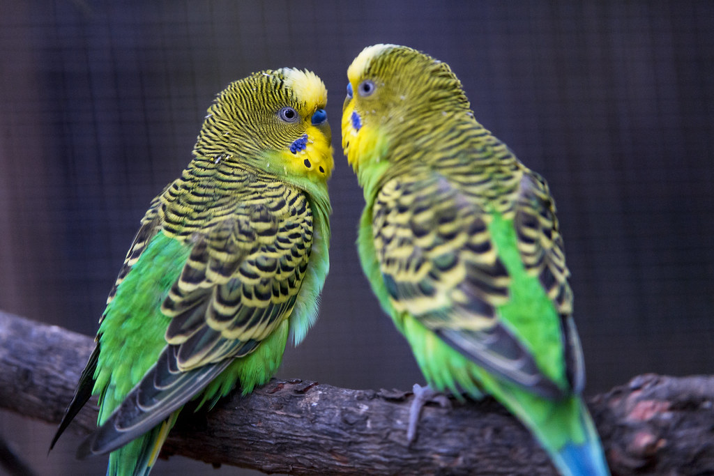 The World's Best Photos of male and parakeet - Flickr Hive Mind