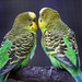 Amourous parakeets