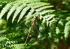 Common Hawker Dragonfly (stourton) Tags: common hawker dragonfly studland bay knoll dorset uk
