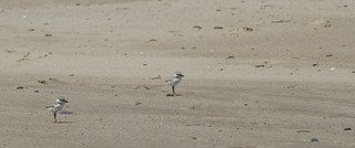 Sibling Piping Plovers