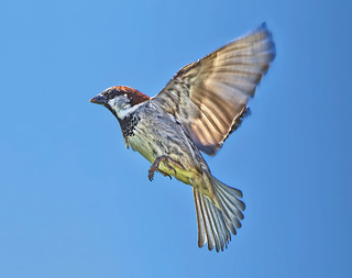 Male House Sparrow  ( passer  domesticus ) - We have lift off !!