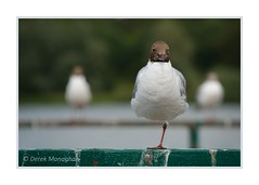 BALANCING ACT (Lucky Del) Tags: derekmonaghan wildlife bird gull blackheadedgull balance nature