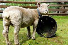 Ewe Can Expect... (aprilamb) Tags: