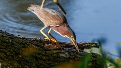 IMG_5218 (brian.a.stamper) Tags: animal bird butoridesvirescens greenheron