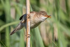 Reed Warbler (Glenn.B) Tags: droitwich worcestershire bird avian reedwarbler reeds