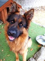 Bailey (Condon78) Tags: gsd german shepherd dog