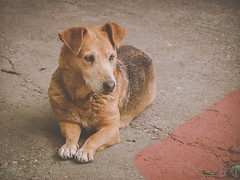 Golden dog (D D photography) Tags: photo photos photography dog animal dogs view look stare gaze thoughts stand standing