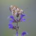 Glanville Fritillary, Lot Valley, France (predman69) Tags: butterfly lot valley france purple fritillary orange cream macro bokeh
