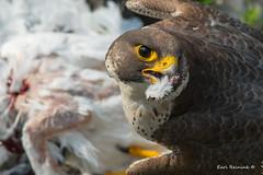Plucking a pigeon (Earl Reinink) Tags: bird animal predator falcon peregrinefalcon earl reinink nature outdoors outside eoaddidza earlreinink