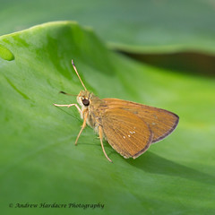 Polytremis lubricans (57Andrew) Tags: hesperiidae butterfly hongkong contiguousswift skipper polytremislubricans thepeak lepidoptera harlechroad