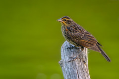 JuvieRedWing (jmishefske) Tags: 2018 nikon d850 july greenfield redwinged blackbird lagoon westallis wisconsin bird park milwaukee pond county juvenile