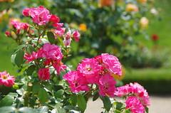 JLF17935 (jlfaurie) Tags: jardin garden bagatelle paris france francia parc parque 22072018 mpmdf jlfr jlfaurie mechas roseraie fleurs roses rosas