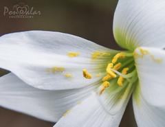 Rain lily (dr_malar) Tags: flower flowers rainlily lily nature nikon nikond750 pollen yellow white