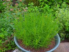 Olivenkraut (Sophia-Fatima) Tags: mygarden meingarten naturgarten gardening gemüsegarten küchengarten veggarden herbs kräuter gewürze olivenkraut