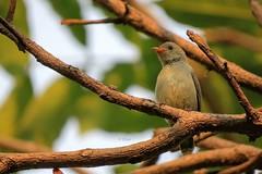 Pale Billed Flowerpecker (pani_mail) Tags: flowerpecker