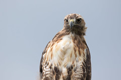 _D2_8070.jpg (rdelonga) Tags: buteojamaicensis redtailedhawk