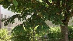 Horse Chestnut (Aesculus hippocastanum) - leaves & trunk - July 2018 (Exeter Trees UK) Tags: horse chestnut aesculus hippocastanum leaves trunk july 2018