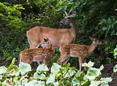 072118145563asmweb (ecwillet) Tags: deer wildwoodparkharrisburgpa nikon nikond800e nikon200500f56 ecwillet ericwillet