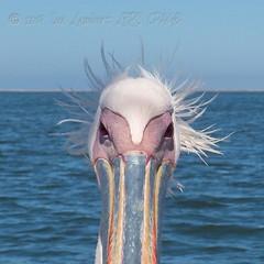 Bad hair day! (Nanooki ʕ•́ᴥ•̀ʔっ) Tags: africa namibia ©suelambertlrpscpagb na greatwhitepelican pelican wavisbay face funny portrait eyes nose feathers sea bird water ocean