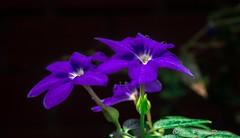 Flores silvestres - wild flowers (Luis FrancoR) Tags: flores silvestres wild flowers tulua valledelcauca colombia col blue ngc ngs ngd ngg ng ngw nikonflickraward nikon naturaleza nikonistas