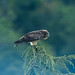 Circaète Jean-le-Blanc Circaetus gallicus - Short-toed Snake Eagle (Julien Ruiz) Tags: circaète jeanleblanc circaetus gallicus shorttoed snake eagle