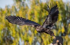 Taking Off After Sashimi (hyu767) Tags: milpitas baldeagles eagles