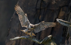 Peregrine Falcon (Chuck Hantis) Tags: