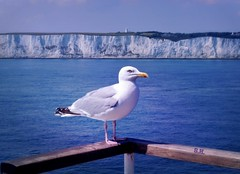 The Stowaway (pianocats16) Tags: seagull dover cliffs water sea english channel ship