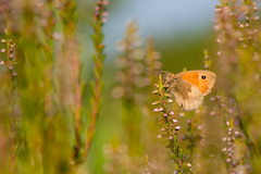 Small Heath (Peter Quinn1) Tags: smallheath butterfly bigmoor derbyshire heather moorland summer easternmoorspartnership easternmoors rspb nationaltrust