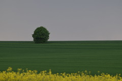 Baum auf Feld II - field with a tree II (Stefan Markus) Tags: northrhinewestphalia nordrheinwestfalen deutschland germany grey green yellow grau grün gelb field feld tree baum tamronsp70300mmf456divcusd tamron nikond5300 nikon