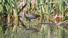 Marouette de Caroline, MLP (boisvertvert1) Tags: michelboisvert marais maraisléonprovancher québec canada canon canon70d 2018 oiseauxduquébec birds